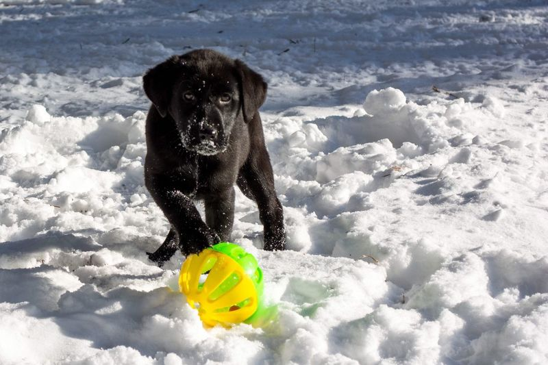 Dog ball in snow