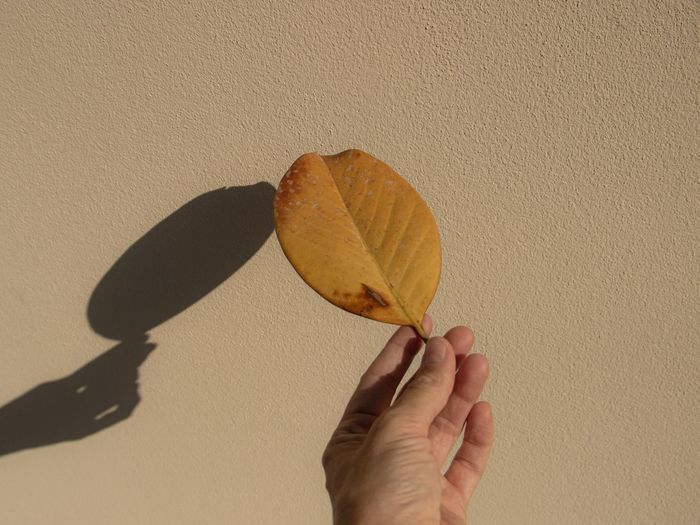 Close-up of hand holding leaf against wall