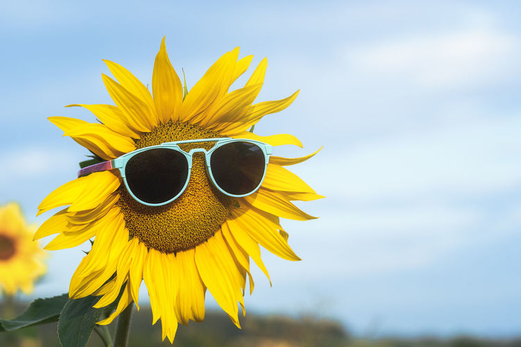 Yellow sunflower with sunglasses against a blue sky, on summer sunny day. happy and sunny summer