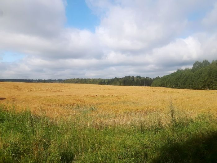 Hanging Out Travelling The Baltic States Rye Field Enjoying Life Wheather Lettland  Wheat Field Grain Harvest Season Harvestmoon Harvest Harvesting September Harvest Time Biophilia Relaxing Taking Photos Biologia Latvia Latvija Latvijasdaba Fresh Nature Field