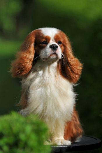 My Favorite Cavalier Leo Cavalier King Charles Spaniel Cavalierkingcharlesspaniel Ckcs Dog Blenheim cavalier