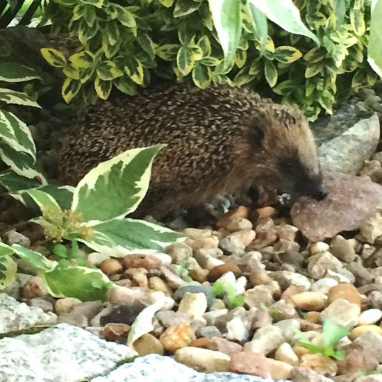 Igel Hedgehog Animals Guest In The Garden City Life Tiny Planet Hungry Animals Bush Between Nature