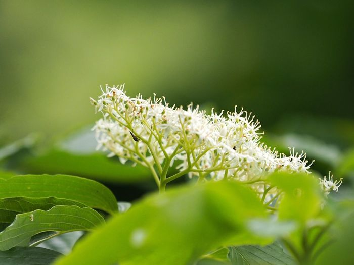 ミズキ Cornus Controversa Flower Flowers Flowers, Nature And Beauty Nature Nature_collection Nature Photography EyeEm Best Shots - Nature EyeEm Best Shots - Flowers The Purist (no Edit, No Filter) EyeEm Nature Lover Snapshot Taking Photos Walking Around お写ん歩