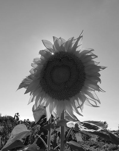 Flower Growth Flower Head Nature Fragility Beauty In Nature No People Freshness Day Sky Outdoors Close-up Sunflower