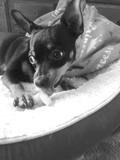 Hottie Devinetexas Bw-dog Blackandwhite Photography Bw_ Collection Dogphotography Healthy Happy Playful Texasdog Dogsofeyeem Ratter Ratterriersofinstagram Mydog Hottie Pets Domestic Animals Dog Mammal Animal Themes Indoors  Portrait Close-up