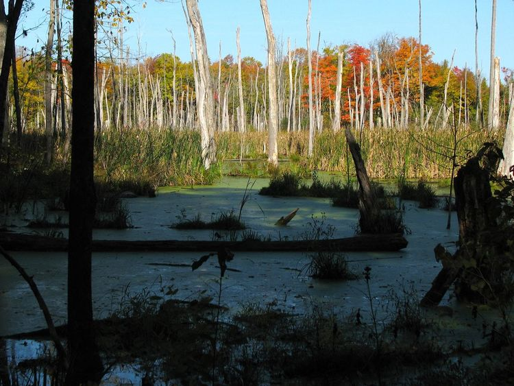 A swamp. Autumn Leaves Beaver Work Calm Fall Colors Nature No Edit/no Filter No People Non-urban Scene Swamp Tranquil Scene Uncultivated Water Île Bizard