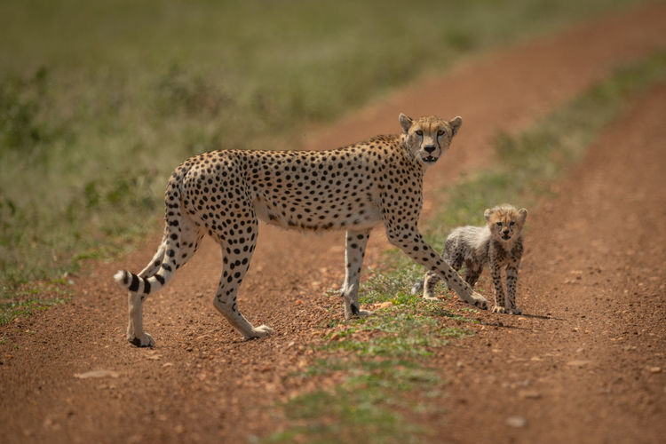 Leopards on dirt road