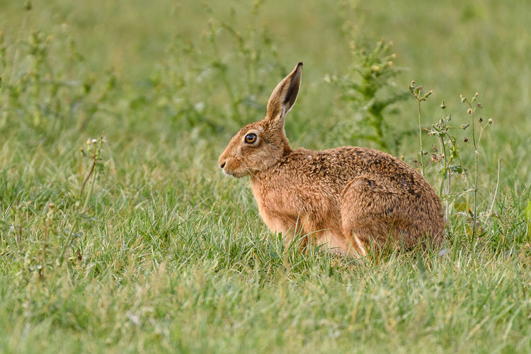 Hare Animal