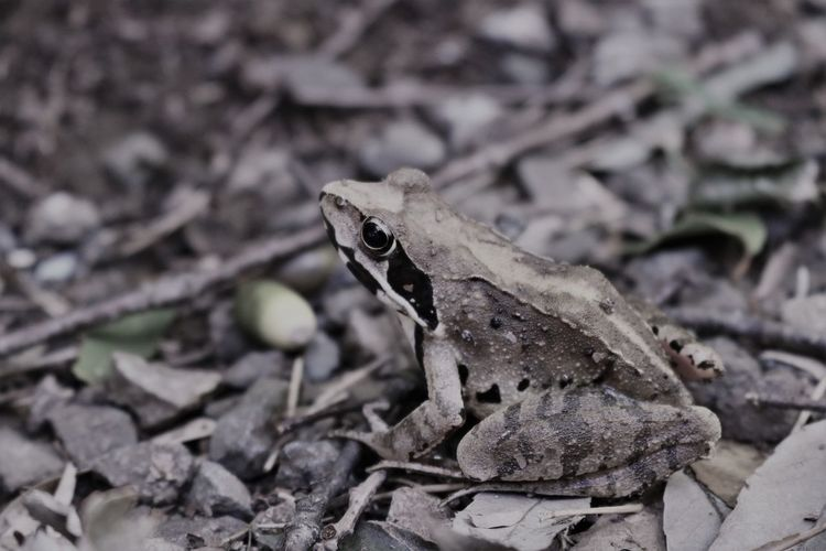 Frog Montane Brown Frog Amphibian Animal Themes Animals In The Wild Close-up Day Living Creatu Nature No People One Animal Only Japa Outdoors
