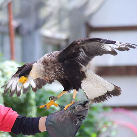 Bird Human Hand Animal Themes Birds_collection Spread Wings One Person One Animal Animals In The Wild Real People Animal Wildlife Focus On Foreground Flying Holding Day Outdoors Side View Beak Motion Close-up Lifestyles Southern Crested Caracara