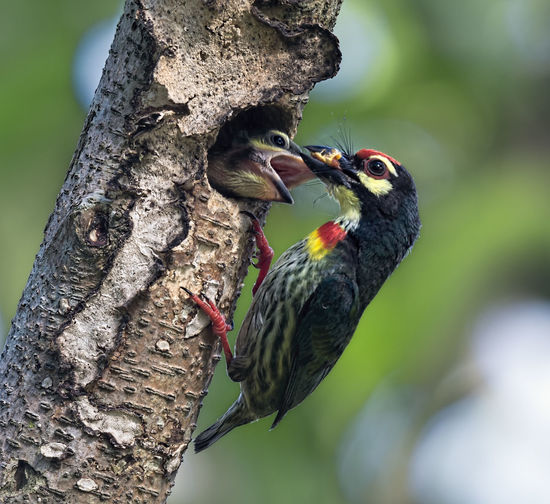 Coppersmith Barbet (Megalaima haemacephala) hang up for feeding baby bird Animal Wildlife Animal Animals In The Wild Animal Themes Vertebrate Bird Tree Tree Trunk Trunk Woodpecker Perching Plant One Animal Nature No People Day Branch Close-up Outdoors Beak Mouth Open Barbet, Wild, Wildlife, Avian, Nature, Coppersmith, Green, Beautiful, Tree, Animal, Bird, Feather, Forest, Thailand, Colorful, Branch, Megalaima, Tropical, Wilderness, Natural, Hole, Outdoor, Birding, Fauna, Exotic, Red, Cute, Small, Asia, Rainforest, Win