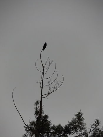 Animal Themes Animals In The Wild Bare Tree Bird Birds Birds Of EyeEm  Birds_collection Birds_n_branches Branch Cloudy Crow Low Angle View Majestic Mystery Nature No People One Animal Outdoors Overcast Weather Wildlife Zoom