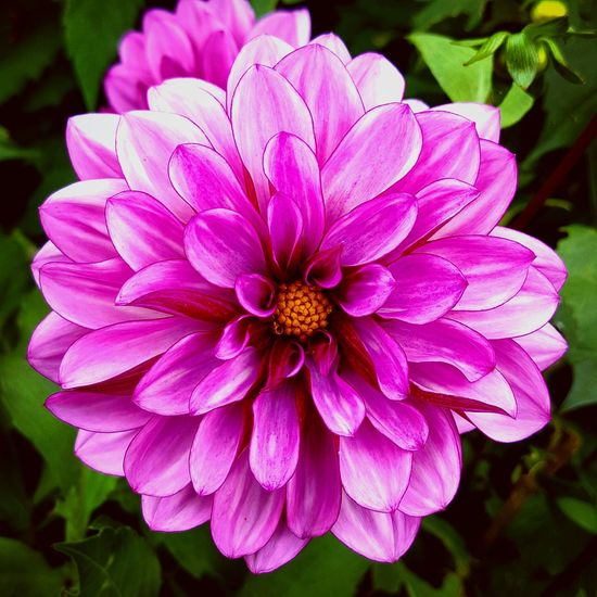 Dahlia flower Flower Petal Fragility Flower Head Beauty In Nature Nature Growth Plant Pollen Freshness Blooming Day Outdoors Pink Color Close-up Growth Garden Photography Close Up Photography Garden Freshness Beauty In Nature Close Up Gardening Close-up Full Frame