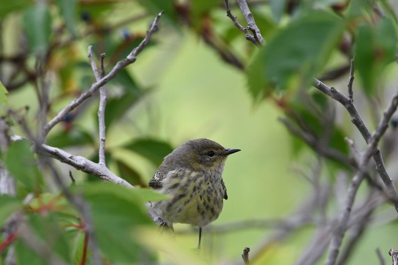 Cape May Warbler Walk In The Woods Natures Best Forest Life Awesome Nature Bird Photography Love Of Nature Birds Life Green Color Nikonphotography My World Natures Beauty Bird Perching Tree Branch Flower Close-up Animal Themes