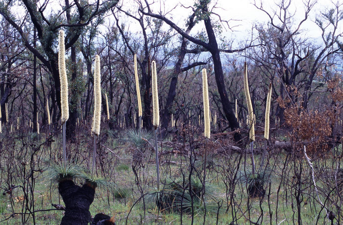 grass trees or 'black boys' after a bush fire in the grampians, victoria. Aussie Australia Australian Black Black Boys  Blackboys Burned Burnt Bush Bush Fire Bush Land Down Under Downunder Grass Tree Grass Trees Sky Grasstree Growth Nature Tree Trunk Wild