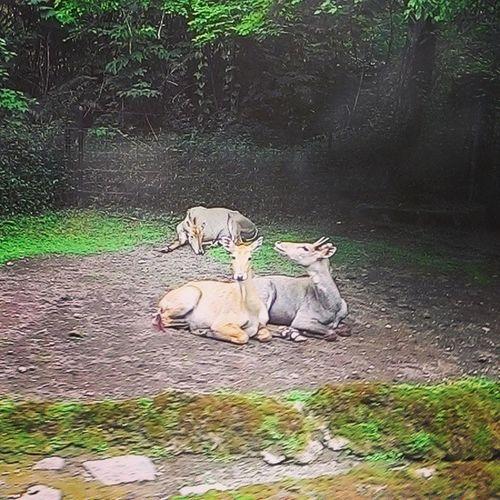 The lovers featuring the lazy one Animal Safaripark Nature Tamansafari Cisarua Bogor Westjava INDONESIA