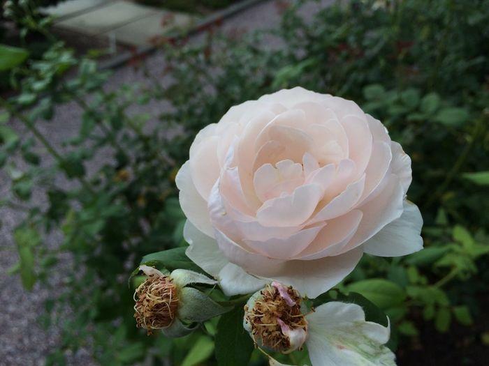 Flower Rose - Flower Pink Light Pink Delicate Nature