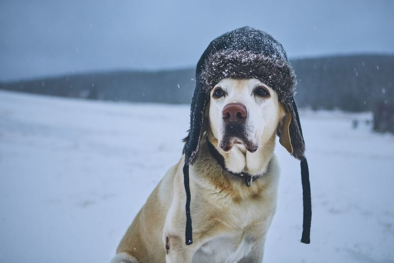 Dog wearing fur hat while sitting on snow covered field