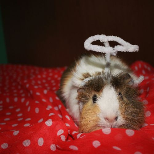 My guinea pig ? Guineapig Ginepig Hintdomuzu Animal Pet Photography  First Eyeem Photo