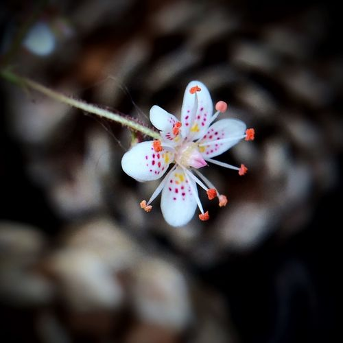 ..So Pure And Simple..my tiny, tiny Saxifraga.. https://youtu.be/FyF-NqIuT0I Blossom Vulnerability  Saxifraga Minimalism Macro Photography Macro Beauty In Nature EyeEm Nature Lover Flower Flowering Plant Fragility Growth Freshness Springtime Flower Head Focus On Foreground Pollen Close-up