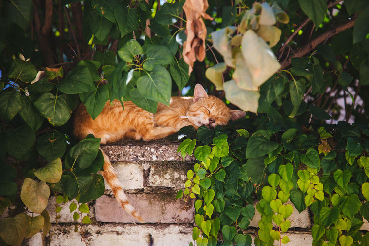 Ginger cat sleeping on retaining wall by trees