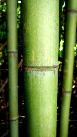 Bamboo macro.