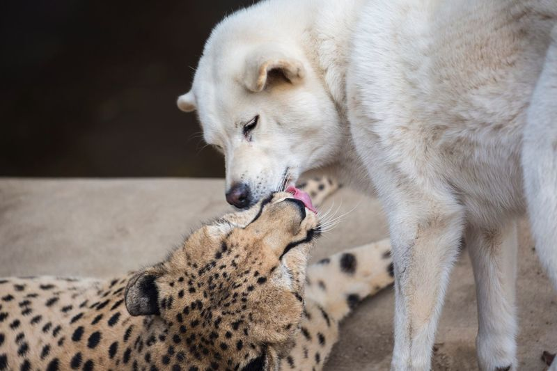 Cheetah And Wolf In Zoo