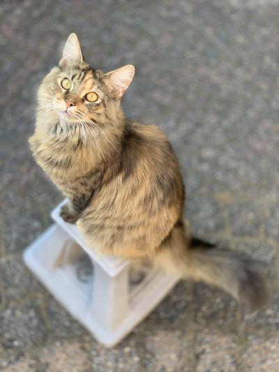 Maine Coone Cat