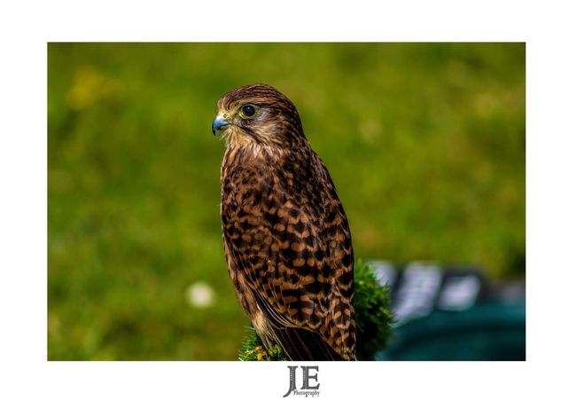 One Animal Bird Animal Themes Animals In The Wild Bird Of Prey Hawk Focus On Foreground Animal Wildlife Day Nature Outdoors Close-up Falcon - Bird Perching No People Owl