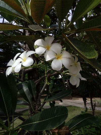 White Plumeria.