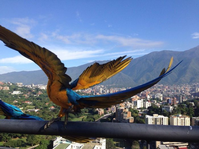 The EyeEm Facebook Cover Challenge Caracas El Avila .Caracas Venezuela Caracas City Bird Guacamaya Cityscape City City Life Cityscapes Colorful Avila Venezuela Venezuela Guacamayo Flying Bird Colourful Travel Destinations