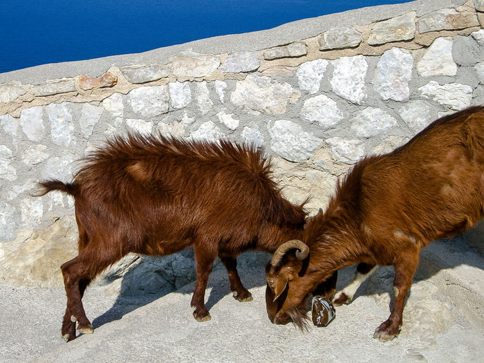 Animal Animal Themes Day Domestic Animals Goat Livestock Mammal Nature No People Outdoors Togetherness