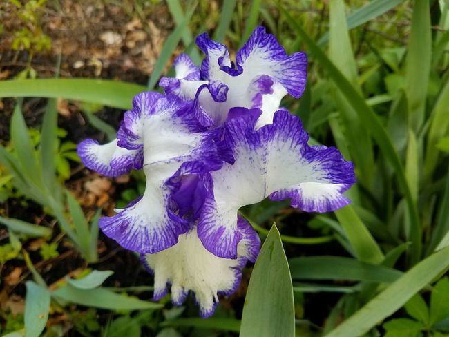 Purple and white bearded iris White Bicolor Spring Flower Head Flower Passion Flower Iris - Plant Petal Purple Close-up Plant Iris In Bloom Purple Color Blooming Blossom Plant Life Botany Pollen