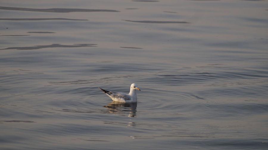 Seagull swimming on lake