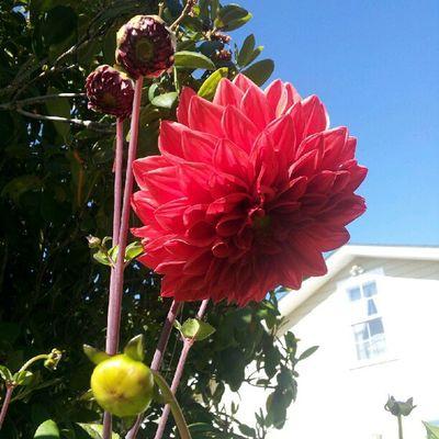 Red Summer Nature Dalia
