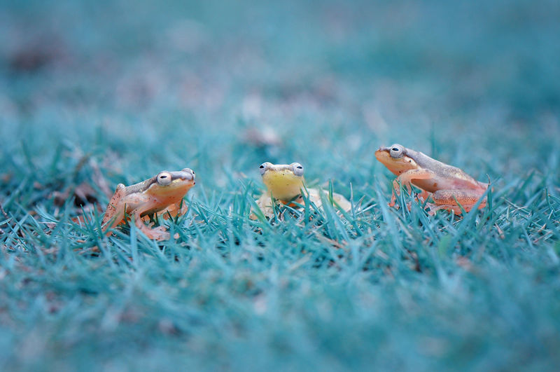 Close-up of frogs on grassy field