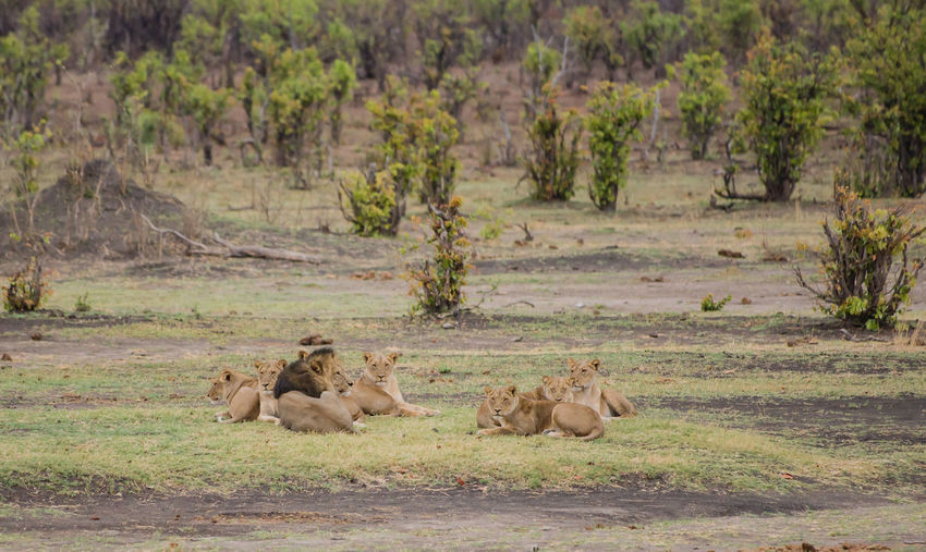 Lionesses group in the savanna of in Zimbabwe, South Africa Big Cats Cat Of Prey Charara Safari Area Lake Kariba Lion National Park Nature Savannah South Africa Wildlife Refuge Zimbabwe Africa Animal Animal Themes Kariba Lion Female Lioness Lionesses Mane Safari Wildlife