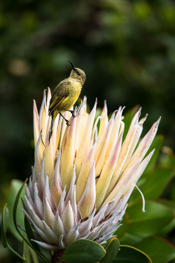 Animal Wildlife Beauty In Nature Bird Close-up Dark Background Day Flower Freshness King Protea Nature No People One Animal Outdoors Perching Sugarbird
