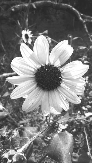 Sunflower Single Flower Flower Head Petal Flower In Bloom Nature Springtime Plant