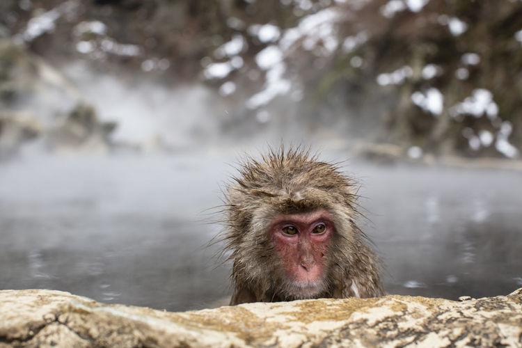 Snow monkeys in hot spring water, japan