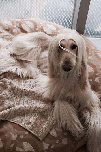 관순아 나도 매직했엉✋ Afghanhound