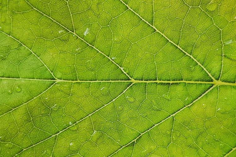 Leaf Backgrounds Green Color Full Frame Nature Plant No People Textured  Close-up Beauty In Nature Growth Day Fragility Freshness Outdoors