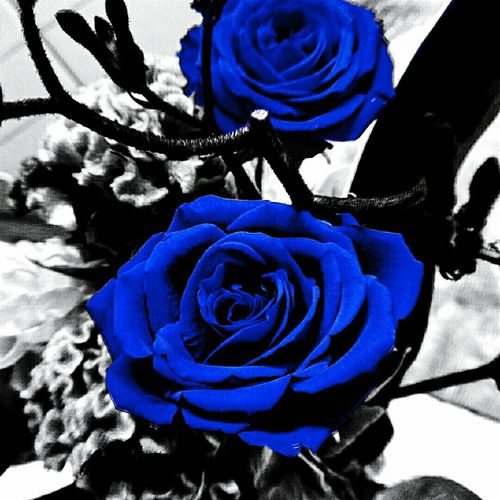 I wish the roses were deep blue color... Red Rose Effect 神秘的 夢叶う 奇跡 不可能 Impossible Mysterious Roses Blue Blue Flowers Flowers Blue Rose Nature Natural Beauty Monochrome Effects & Filters EyeEm Nature Lover EyeEm Best Shots - Black + White EyeEm Best Shots - Nature EyeEm Best Edits EyeEm Best Shots
