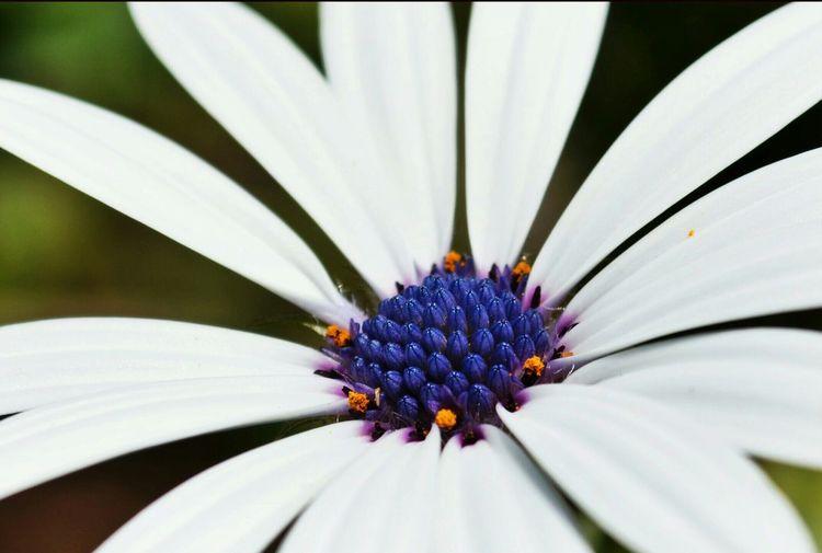 Flower African Daisy Macro_flower White White And Blue Flowers