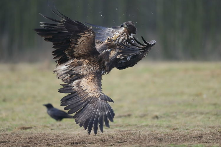 Two juvenile white-tailed eagles fighting