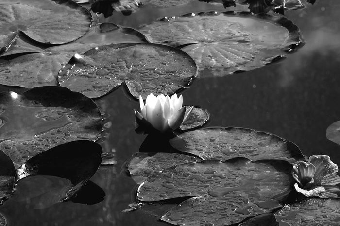 Close-up Water Freshness Beauty In Nature Fragility Tranquility Blossom Eyemgallery Eyem Collection Eye4photography  Eyeemphoto EyeEmBestPics Detail Photography Gardendecor Love In Black & White Blach&white Bw_photooftheday Bw-collection Bwphotography Eyemnaturelover AMPt_Nature Bwstyleoftheday Bw_divine