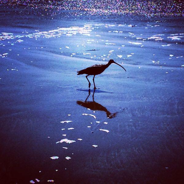 Beach Bird Blue California California Coast Nature No People Ocean Sand Piper Water Reflection Sunny