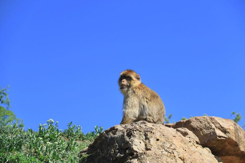 Monkey Blue Sky Animals In The Wild Animal Wildlife Animal Themes Copy Space Animal Clear Sky Nature One Animal Vertebrate Low Angle View No People Day Sunlight Plant Rock Solid Rock - Object Tree