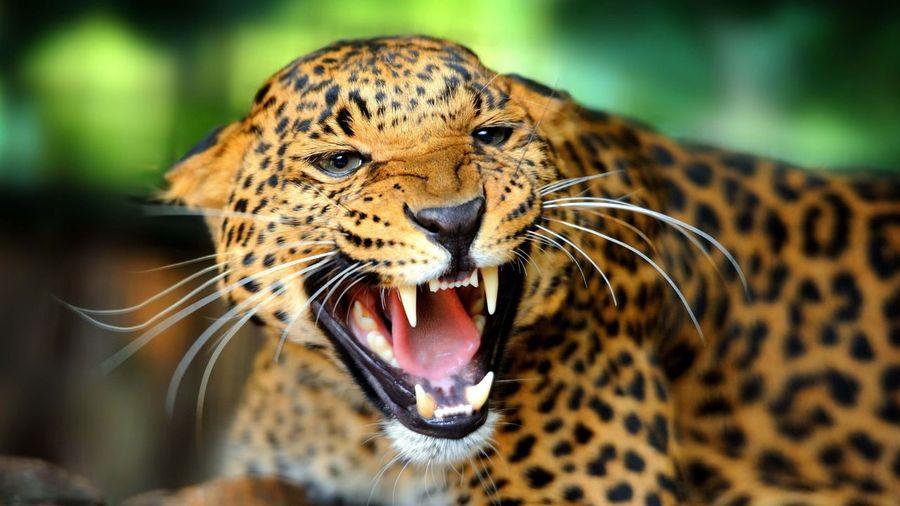 Close-up of an aggressive jaguar