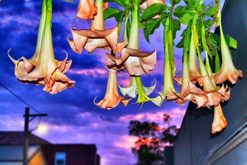 Low hanging fruit Australian Flower Bondi Junction EmEyeNewPhoto EyeEm Best Shots Nikon NikonD5100 Freshness Hanging No People Food And Drink Food For Sale Close-up Flower Nature Flowering Plant Wellbeing Outdoors